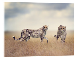 Metacrilato  Cheetahs on the hunt