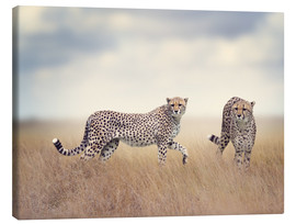 Lienzo  Cheetahs on the hunt