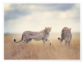 Póster  Cheetahs on the hunt