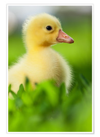 Póster  Cute duckling