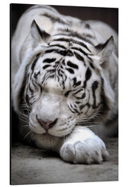Aluminio-Dibond  Sleeping white tiger