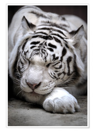 Póster  Sleeping white tiger