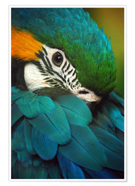 Póster  Parrot in plumage