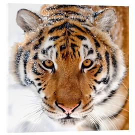 Cuadro de metacrilato  Siberian tiger in the snow