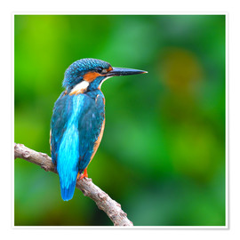 Póster  Kingfisher in blue turquoise