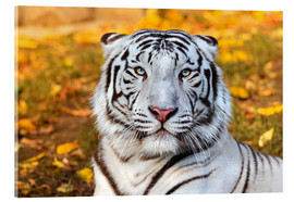 Cuadro de metacrilato  White Tiger in closeup