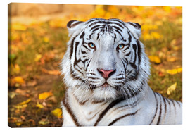 Lienzo  White Tiger in closeup