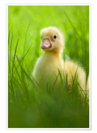 Póster Sweet little goose in the green grass