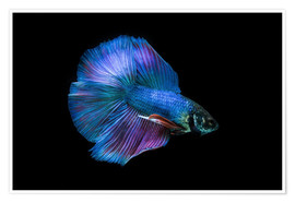 Póster  Blue Betta
