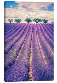 Lienzo  Lavender field with trees in Provence, France