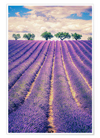 Póster Lavender field with trees in Provence, France