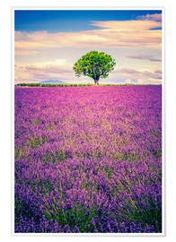 Póster  Lavender field with tree in Provence, France