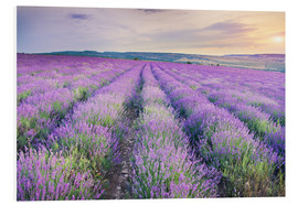 Forex  Meadow of lavender on sunset