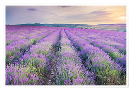 Póster  Meadow of lavender on sunset