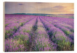 Madera  Meadow of lavender on sunset