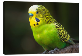Lienzo  Green budgie - Edith Albuschat