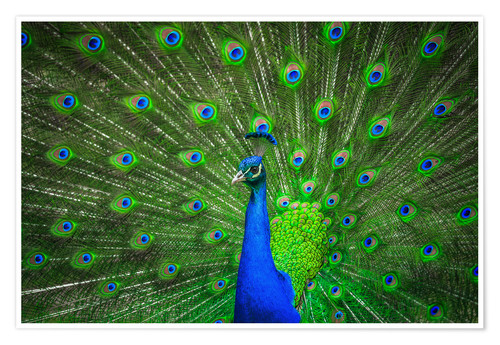 Póster beautiful peacock with feathers