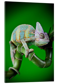 Cuadro de metacrilato  green chameleon on bamboo