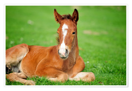 Póster Foal on a lawn