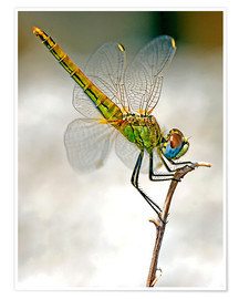Póster  dragon-fly