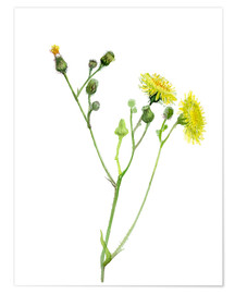 Póster Field Sowthistle
