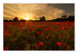 Póster Poppy field in sunset