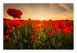 Póster Poppy field with sunset