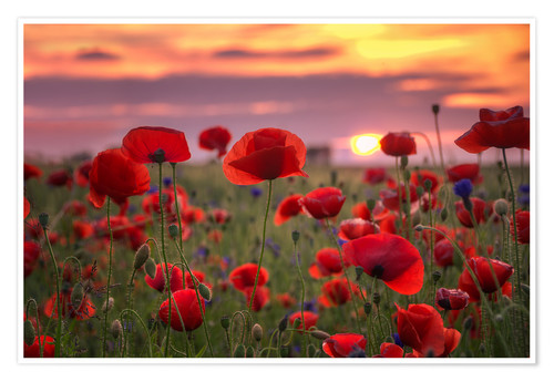 Póster Poppies in sunset
