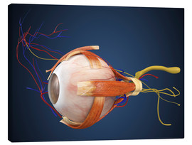Lienzo  Human eye with muscles and circulatory system.