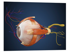 Cuadro de PVC  Human eye with muscles and circulatory system.