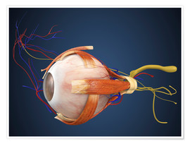 Póster  Human eye with muscles and circulatory system.