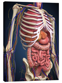 Lienzo  Human midsection with internal organs.