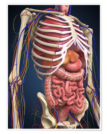 Póster  Human midsection with internal organs.
