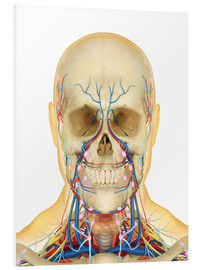 Cuadro de PVC  Human face and neck area with nervous system, lymphatic system and circulatory system.