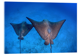 Metacrilato  Spotted eagle rays - Ethan Daniels