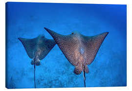 Lienzo  Spotted eagle rays - Ethan Daniels