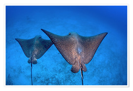 Póster  Spotted eagle rays - Ethan Daniels