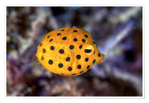 Póster Juvenile yellow boxfish