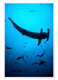 Póster  A scalloped hammerhead shark swims near Cocos Island, Costa Rica. - Ethan Daniels