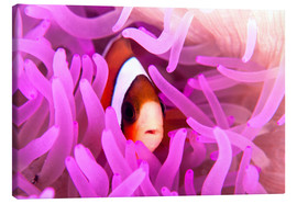 Lienzo  Anemonefish amongst tentacles - Ethan Daniels