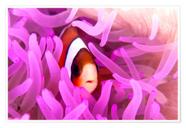 Póster Anemonefish amongst tentacles