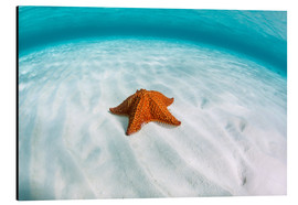 Cuadro de aluminio  A West Indian starfish on the seafloor in Turneffe Atoll, Belize. - Ethan Daniels