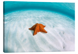 Lienzo  A West Indian starfish on the seafloor in Turneffe Atoll, Belize. - Ethan Daniels