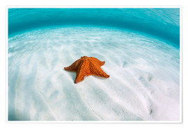 Póster  A West Indian starfish on the seafloor in Turneffe Atoll, Belize. - Ethan Daniels