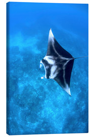 Lienzo  A large reef manta ray swims through clear water in Raja Ampat. - Ethan Daniels