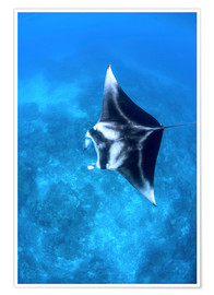 Póster  A large reef manta ray swims through clear water in Raja Ampat. - Ethan Daniels