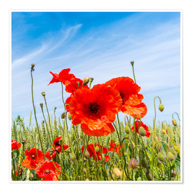 Póster red poppies