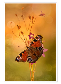 Póster  Peacock butterfly on bell flowers - Jaroslaw Blaminsky