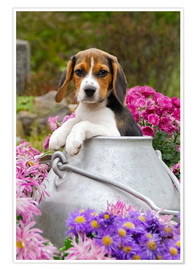 Póster Cute Beagle dog puppy in a milk can