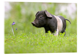 Metacrilato  Little Baby Pig - WildlifePhotography